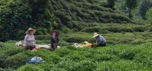 Tea plantations in Turkey 012