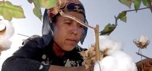 Свыше 50 хозяйств Согда выполнили обязательства по сбору хлопка