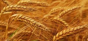 В Душанбе обсудят проблемы сектора производства пшеницы в условиях изменения климата в Центральной Азии