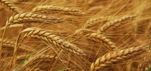 ФАО: В этом году ожидается крупный урожай зерна