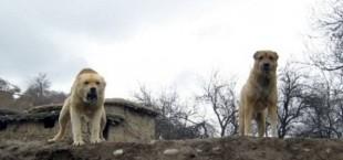 Бродячие псы Таджикистана: ежедневно не менее 38 нападений