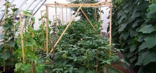 В теплицах собирают урожай овощей