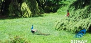 В ботанический сад столицы завезли павлинов